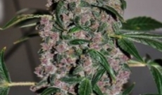 AK47 plus White Widow XTRM equals K47 XTRM!