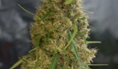 Amnesia Trance Feminized - Have A Great Demand Today