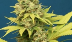 Benefits and Specialties of Dutch Dope Cannabis or Marijuana Seeds