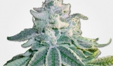 Caramelicious Auto - fem seeds known as one of the profitable Marijuana seeds