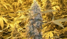 Caramelicious feminized seeds - know for its great aroma and taste
