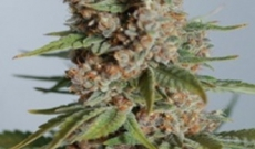 Caramelicious Seeds Give The Sweet Smell And Citrus Aroma
