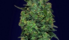 Chronic Auto-fem Seeds are Perfect for Medicinal Requirements