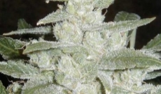 White Widow - de kristallen regendruppels