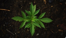 What Are the Optimum pH Levels for Growing Cannabis?