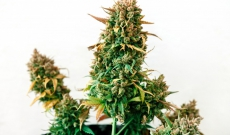 10 Best feminized seeds for outdoor growing