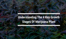 Understanding The 4 Key Growth Stages Of Marijuana Plant