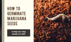 How to Germinate Marijuana Seeds: A Step-by-step Guide For 2021