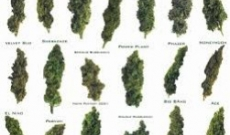 Top 5 Marijuana Strains That Are Extremely Easy to Grow