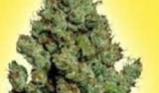 What Are the Top 3 Feminized Cannabis Seed Options with High THC Content?
