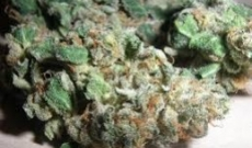 What are the Reasons behind Rising Popularity of Northern Light x Shiva Strain?